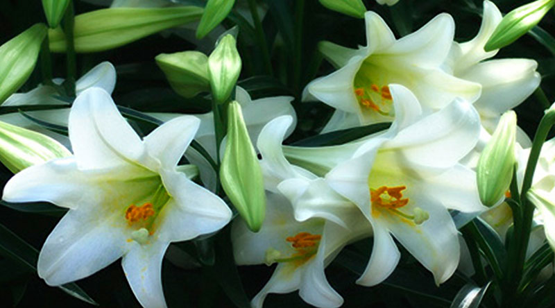 Easter Lily Sales